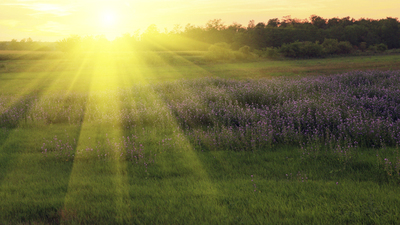 lavender flower field in sunset