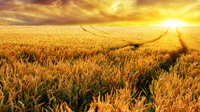Dreamy sunset on a gold wheat field with tracks leading to the sun, focus on the foreground plants