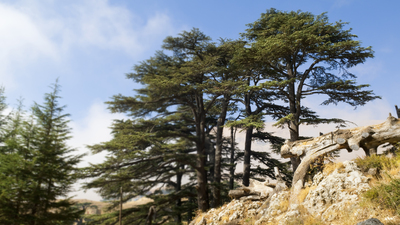 Cedar trees, part of an old growth forest several kilometers uphill from Bcharre, Lebanon
