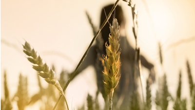 Woman silhouette in wheat field, focus on plants