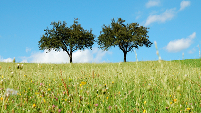 summer in the country: two apple trees in the meadow on a bright sunny day. blue sky and white clouds in the back.