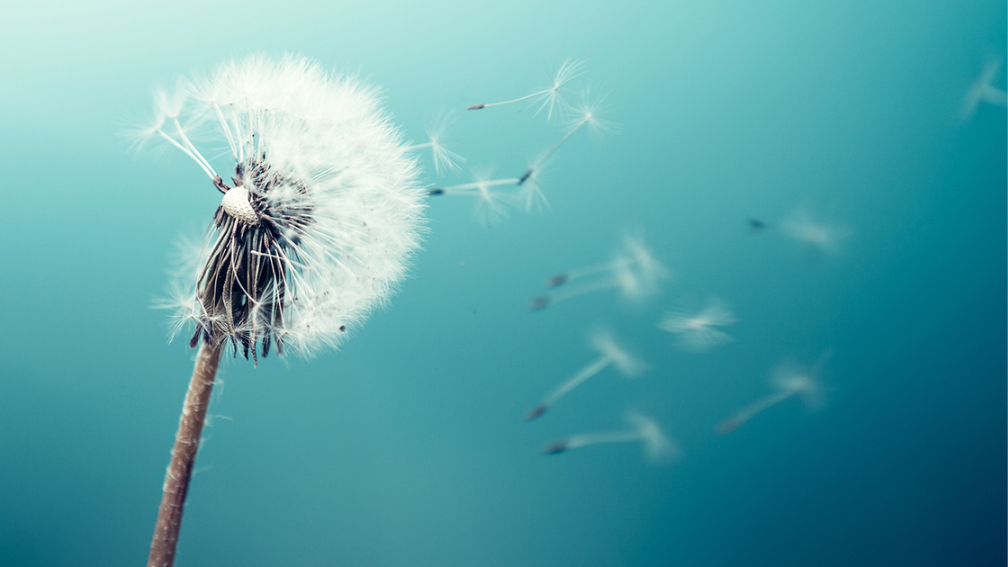 Dandelion seeds flying in the wind.